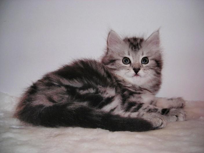продажа котят объявления с фото #14
