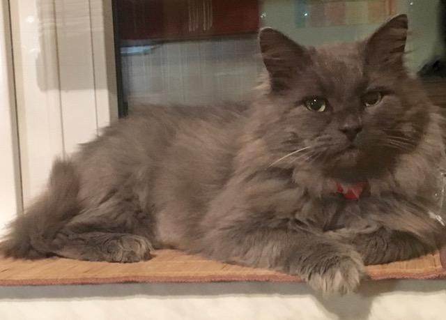 Серебристо-серый кот нибелунг Зигфрид в дар