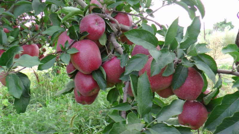 Оптовая продажа яблок со склада в Казахстане.