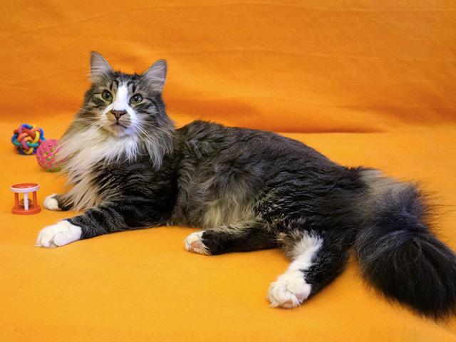 Красавец Федор, великолепный молодой сибирский котик в добрые руки