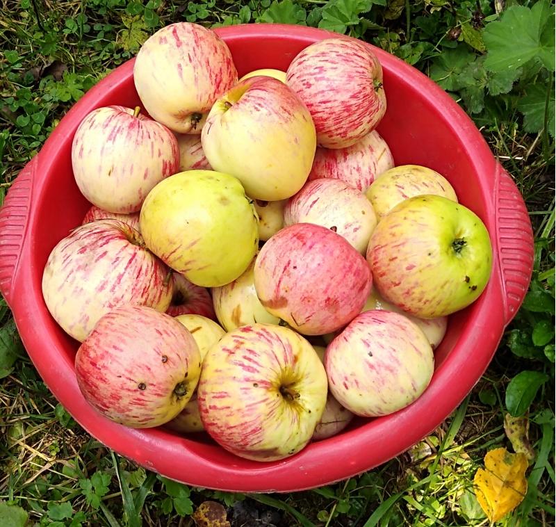 Яблоки, груши, слива за ведро