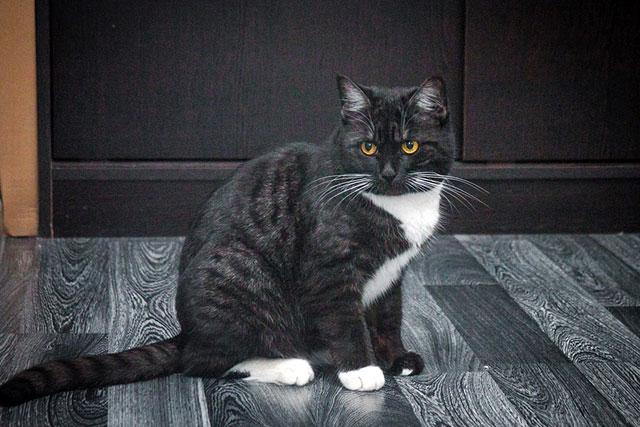 Молодая кошечка Фаня, британское сокровище в добрые руки