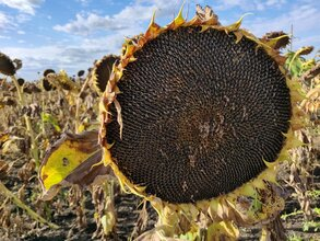 Семена гибридного подсолнечника