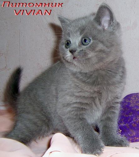 Британские клубные котята голубого окраса.
